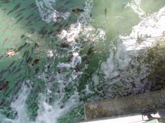 Біопрепарат Понд-плюс для відалення облогу в ставках и акваріумах